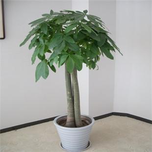 发财树 招财树
