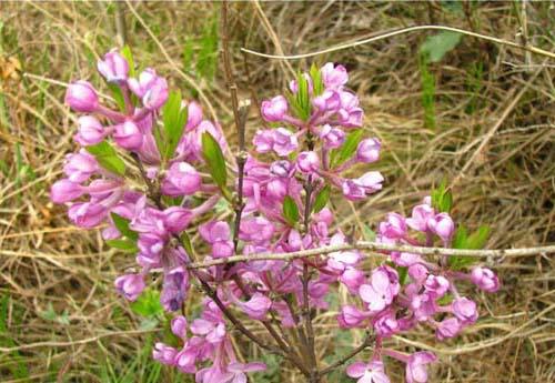 黄芫花 主产 于 山西